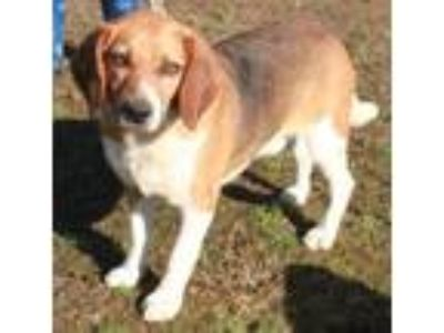 Adopt Hesh a Tricolor (Tan/Brown & Black & White) Beagle / Mixed dog in