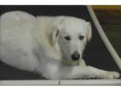 Adopt WILLOW a White Great Pyrenees / Mixed dog in Granite Bay, CA (20567761)