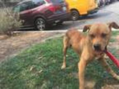 Adopt MILTON a Pit Bull Terrier, Mixed Breed