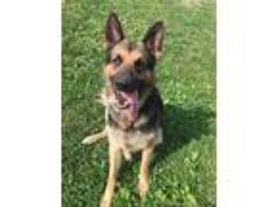 Adopt Maverick - available after June 23rd a German Shepherd Dog / Mixed dog in