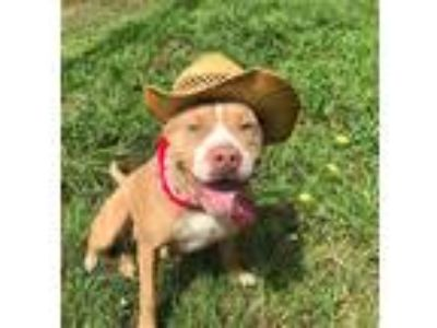 Adopt NORTH a Tan/Yellow/Fawn - with White Pit Bull Terrier / Mixed dog in Pilot