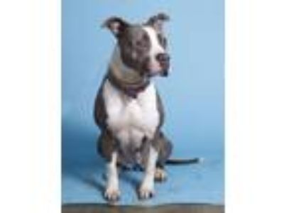 Adopt PupPup a American Staffordshire Terrier, Boxer