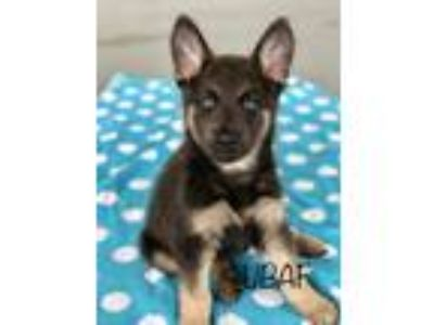 Adopt Izzy a Gray/Blue/Silver/Salt & Pepper German Shepherd Dog / Labrador