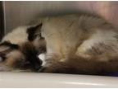 Adopt Iroh a Siamese / Mixed cat in Portsmouth, VA (25256592)
