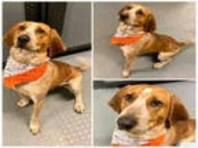 Adopt BASSET a Red/Golden/Orange/Chestnut - with White English (Redtick)