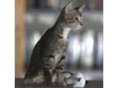 Adopt Motor a Brown or Chocolate Domestic Shorthair / Domestic Shorthair / Mixed