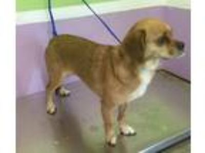 Adopt Yariza a Brown/Chocolate - with White Pug / Beagle / Mixed dog in Missouri