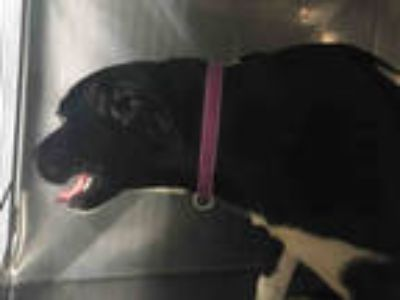 Adopt JASMINE a Black - with White Border Collie / Labrador Retriever / Mixed