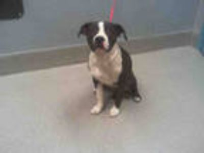 Adopt *BUBBLES a Brindle - with White American Pit Bull Terrier / Mixed dog in
