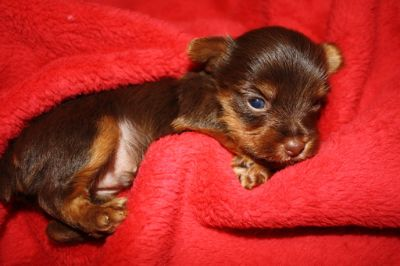 Yorkshire Terrier PUPPY FOR SALE ADN-52669 - Yorkie Puppies