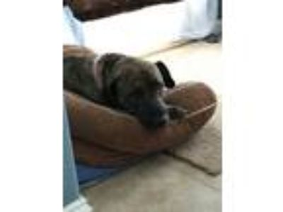 Adopt Lily a Brindle Plott Hound / Mastiff / Mixed dog in Jacksonville