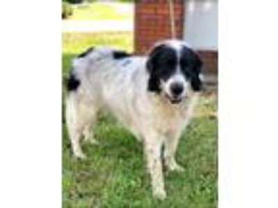Adopt Snoopy a Newfoundland Dog, Great Pyrenees