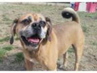 Adopt Boomer a Brown/Chocolate - with Black Pug / Beagle / Mixed dog in