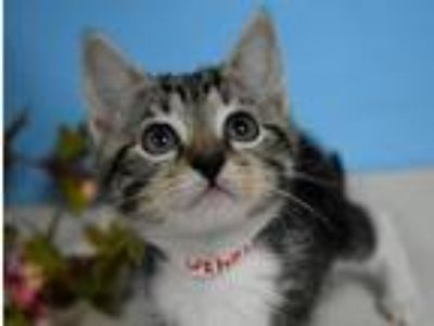 Adopt Evelyn a Domestic Shorthair / Mixed cat in Portland, OR (25595785)