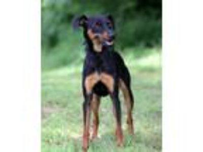 Adopt Rosie a Black - with Tan, Yellow or Fawn Miniature Pinscher dog in Dixon