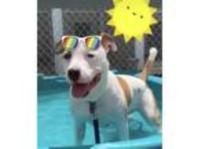 Adopt Petey a Pit Bull Terrier / Mixed dog in Madison, NJ (25402620)
