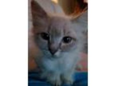 Adopt PigPen a Domestic Short Hair
