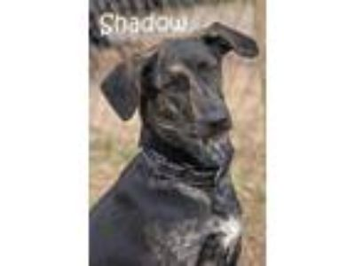 Adopt Shadow a Cattle Dog, Labrador Retriever