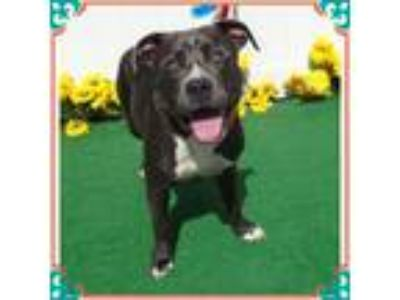 Adopt CREED a Gray/Silver/Salt & Pepper - with White Pit Bull Terrier / Mixed