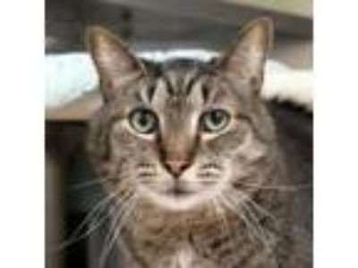 Adopt Dr. Smolder Bravestone a Domestic Short Hair