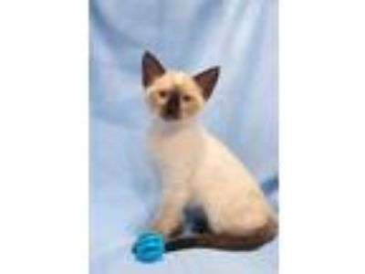 Adopt Hennessey a Cream or Ivory (Mostly) Siamese / Mixed (short coat) cat in