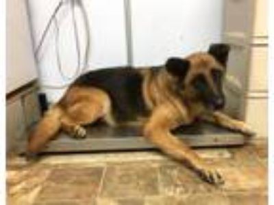 Adopt Cleo a German Shepherd Dog