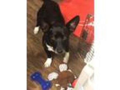 Adopt Java a Black - with White Terrier (Unknown Type, Small) dog in Baytown