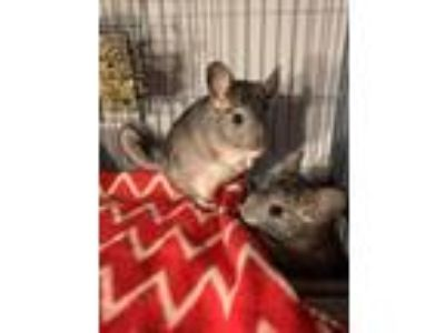 Adopt Torte a Chinchilla