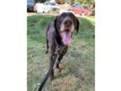 Adopt Duke a German Shorthaired Pointer / Mixed dog in Silverdale, WA (25258886)