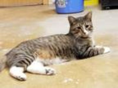 Adopt Dipper a Brown Tabby Domestic Shorthair / Mixed (short coat) cat in St.
