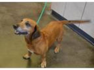 Adopt Max a Basset Hound / Shepherd (Unknown Type) / Mixed dog in Rockwall