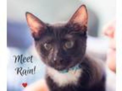Adopt Rain a Domestic Shorthair / Mixed (short coat) cat in Hampton