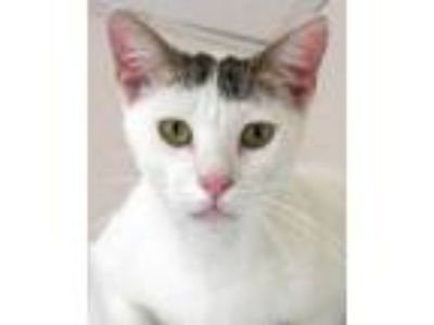 Adopt Dusty a White Domestic Shorthair / Domestic Shorthair / Mixed (short coat)