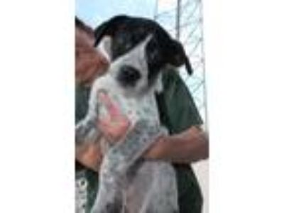 Adopt Spotz -Puppy Foster Needed 6/8 a Australian Cattle Dog / Blue Heeler