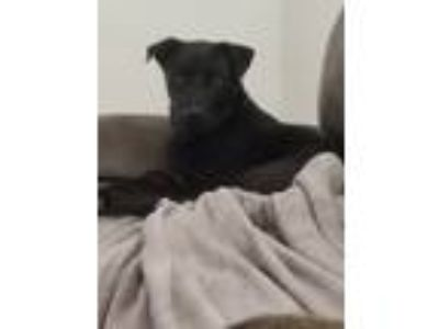 Adopt Onyx a Black - with White German Shepherd Dog / Husky dog in Fort Worth