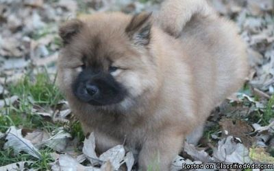 Sweetest male and female chow chow puppies for adoption please contact via text or call for more details (530)-436