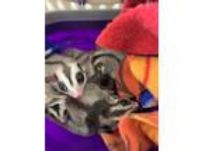 Adopt Asia, Cujo, Xena, and Jinx a Brown or Chocolate Sugar Glider (short coat)