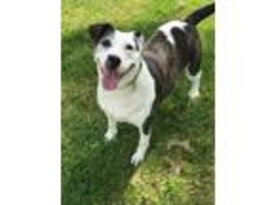 Adopt Purdy a Brindle - with White Beagle / Terrier (Unknown Type