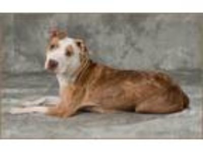 Adopt Bambi a Pit Bull Terrier