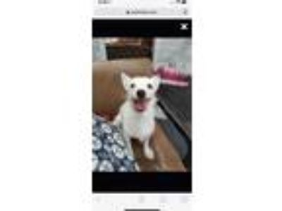 Adopt Russell a White Jack Russell Terrier / Mixed dog in Plainfield