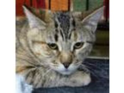 Adopt Tiny a Domestic Shorthair / Mixed (short coat) cat in Logan, UT (19583090)