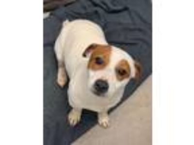 Adopt Tom a Jack Russell Terrier