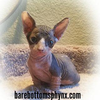 #sphynx#bambino#kittens#hairlesscats#barebottomsphynx.com#9518050070