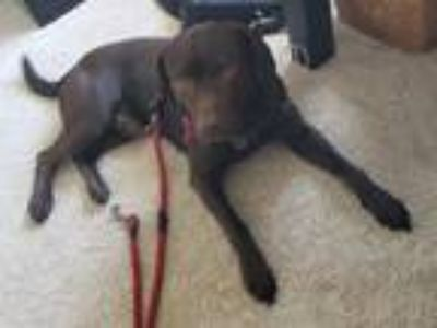 Adopt Julius a Brown/Chocolate Labrador Retriever / American Pit Bull Terrier