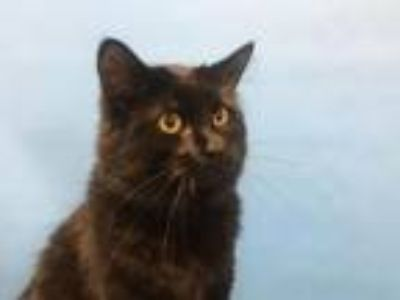 Adopt Hatter a Domestic Medium Hair, Domestic Short Hair