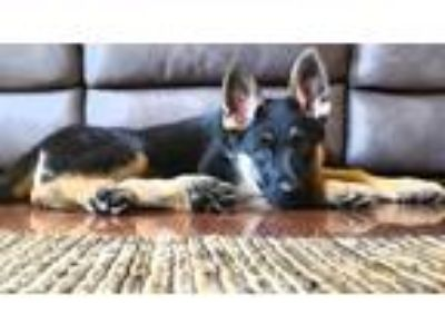 Adopt Thelma a Black - with Tan, Yellow or Fawn German Shepherd Dog / Mixed dog