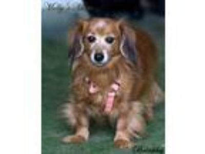 Adopt Brinkley a Dachshund / Mixed dog in Dixon, KY (25846007)