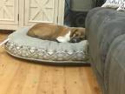 Adopt Smores a Brown/Chocolate - with Tan German Shepherd Dog / Mixed dog in