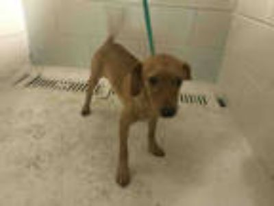 Adopt a Tan/Yellow/Fawn Dachshund / Mixed dog in Winter Haven, FL (25804362)