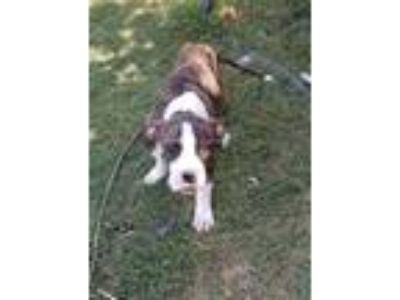 Adopt Berk a Brindle - with White Boxer dog in Manhattan, NY (25619338)
